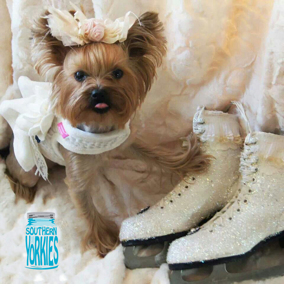 Yorkie Pups for Sale | Southern Yorkies