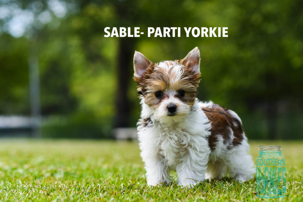 yorkie coloring pages akc - photo#32